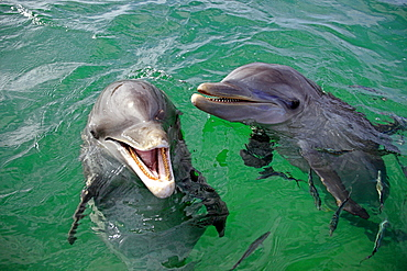 Bottlenose Dolphins, Honduras / (Tursiops truncatus)