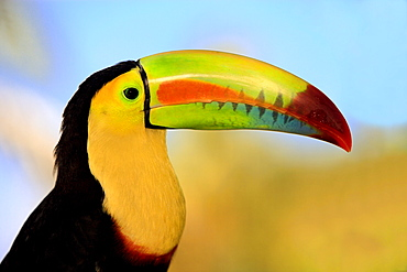 Keel-billed Toucan, Honduras / (Ramphastos sulfuratus) / profile, side