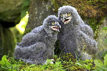 Snowy Owls, chicks / (Nyctea scandiaca)