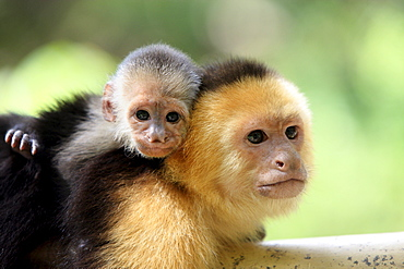 White-throated Capuchins, female with young, Honduras / (Cebus capucinus)