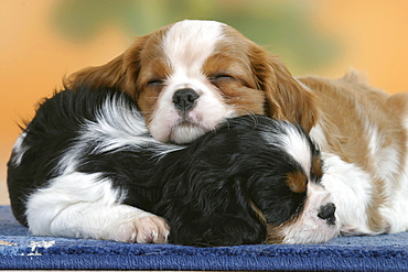 Cavalier King Charles Spaniel, puppies, 7 weeks