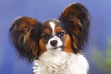 Papillon, bitch, 8 months / Continental Toy Spaniel, Butterfly Dog