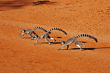 Ring-tailed Lemurs, Berenty Private Reserve, Madagascar / (Lemur catta) / side