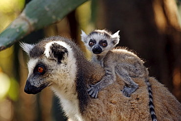 Ring-tailed Lemurs, female with young, Berenty Private Reserve, Madagascar / (Lemur catta)