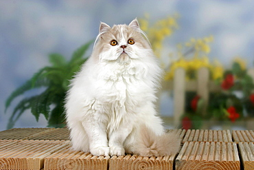 Persian Cat, cream-white-harlequin
