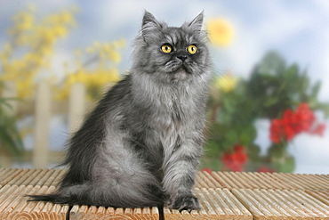 Persian Cat, black-smoke