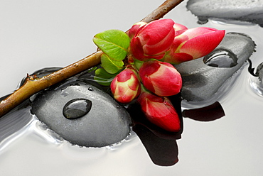 Ornamental Quince, twig with blossoms on stones in water / (Chaenomeles japonica)