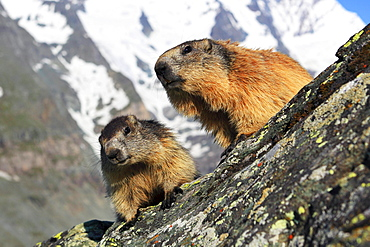 Alpine Marmot with young, Upper Tauern national park, Austria / (Marmota marmota) / Alps