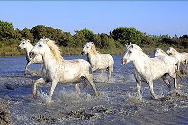 Camargue Horses in water, Camargue, Provence, Southern France
