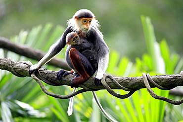 Red-shanked Douc Langurs, female with young / (Pygathrix nemaeus)