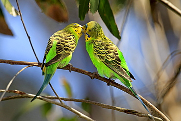 Budgerigars, pair, courtship display, Alice Springs, Australia / (Melopsittacus undulatus)