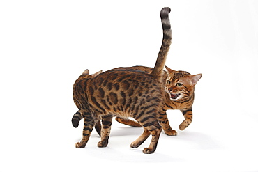 Bengal Cats, pair
