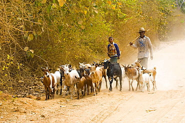 Herdsman and child with flock of Domestic Goats, near Morondava, Madagascar / Domestic Goat