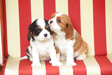 Cavalier King Charles Spaniel, puppies, blenheim and tricolour, 5 weeks