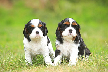 Cavalier King Charles Spaniel, puppies, tricolour, 5 weeks
