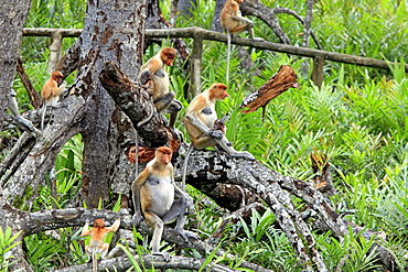 Proboscis Monkeys, females with youngs, Labuk Bay, Sabah, Borneo, Malaysia / (Nasalis larvatus)