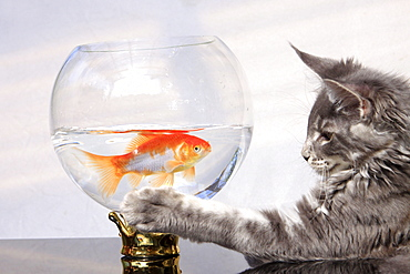 Maine Coon Cat and Goldfish / Goldfish bowl