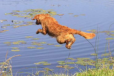 Young Golden Retriever, jumping into pond