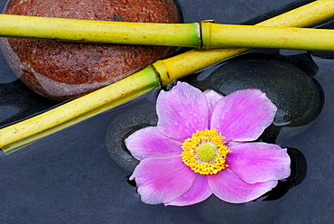 Japanese Anemone and bamboo sticks / (Anemone japonica)