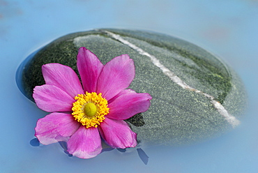 Japanese Anemone and stone / (Anemone japonica)