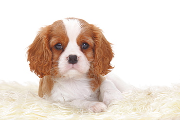 Cavalier King Charles Spaniel, blenheim, puppy, 8 weeks