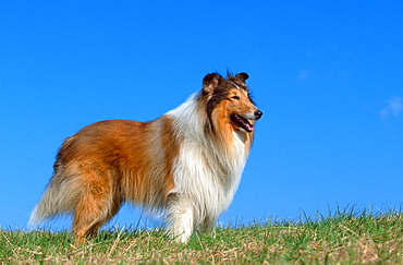 Rough Collie / side