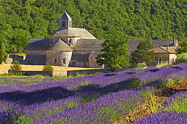Lavender field, abbey Senanque, Gordes, Provence, Southern France / (Lavendula angustifolia)