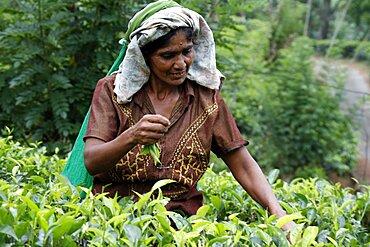 Tea picker at Geragama Plantation, Pilimatalawa, Sri Lanka, Asia