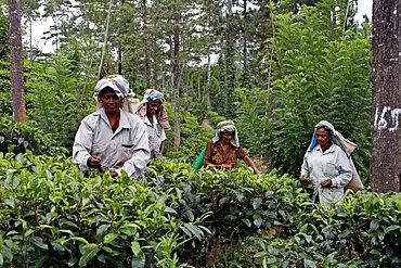Tea pickers at Geragama Plantation, Pilimatalawa, Sri Lanka, Asia