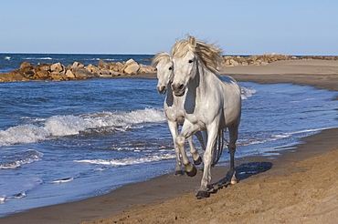 Camargue horses running on the beach, Bouches du Rhone, Provence, France, Europe