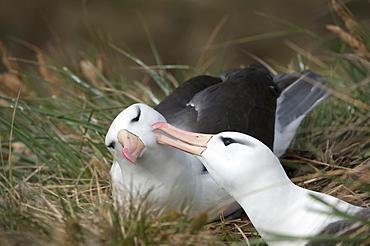 Courting black-browed albatross (black-browed mollymawk) (Diomedea melanophris), West Point, Falkland Island, South America