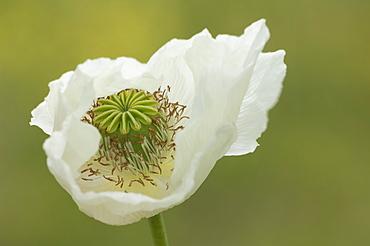 Opium poppy (Papaver somniferum), Turkey, Asia Minor, Eurasia