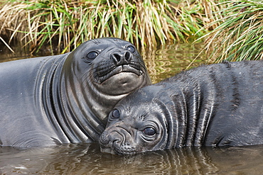 Two young Southern elephant seals (Mirounga leonina) playing in the water, Fortuna Bay, South Georgia Island, Polar Regions