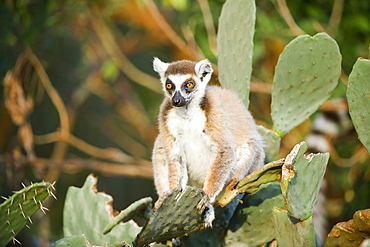 Ring-tailed lemur (Lemur catta) on cactus, near Threatened, Berenty Nature Reserve, Madagascar, Africa