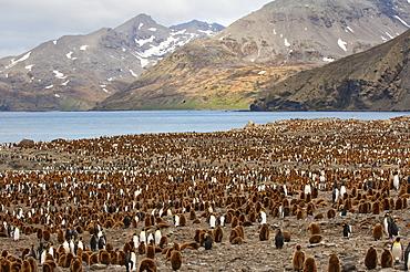 King penguin (Aptenodytes patagonicus) colony, St. Andrews Bay, South Georgia Island, Polar Regions