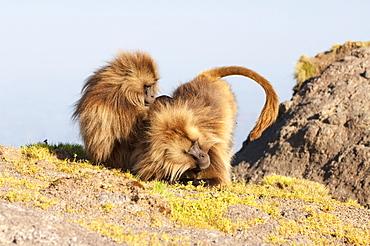 Gelada baboon (Theropithecus Gelada) grooming each other, Simien Mountains National Park, Amhara region, North Ethiopia, Africa