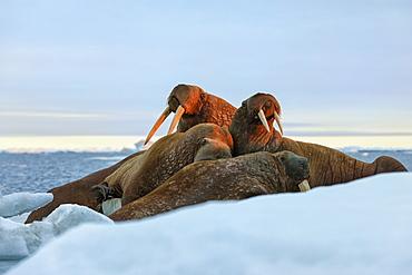 Last rays of evening sun striking a group of Walrus (Odobenus rosmarus), Wrangel Island, UNESCO World Heritage Site, Chuckchi Sea, Chukotka, Russia, Eurasia