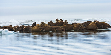 Group of Walrus (Odobenus rosmarus) resting on an ice floe, Krasin Bay, Wrangel Island, UNESCO World Heritage Site, Chuckchi Sea, Chukotka, Russian Far East, Russia, Eurasia