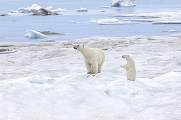 Mother polar bear with one cub (Ursus Maritimus), Wrangel Island, UNESCO World Heritage Site, Chuckchi Sea, Chukotka, Russian Far East, Russia, Eurasia