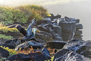 Waved albatross (Phoebastria irrorata ), Hispanola Island, Galapagos, UNESCO World Heritage Site, Ecuador, South America