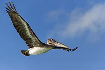 Galapagos Brown Pelican (Pelecanus occidentalis urinator) in flight, Black Turtle Bay, Santa Cruz Island, Galapagos, Ecuador, South America