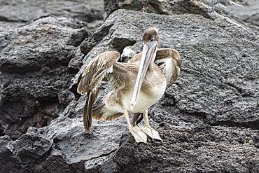 Galapagos brown pelican (Pelecanus occidentalis urinator), Genovesa Island, Galapagos, UNESCO World Heritage Site, Ecuador, South America