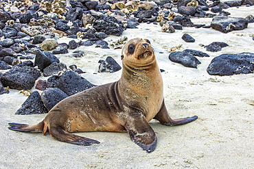 Galapagos sea lion pup (Zalophus californianus wollebaeki), Galapagos, UNESCO World Heritage Site, Ecuador, South America