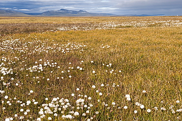 Tundra, Wrangel Island, UNESCO World Heritage Site, Chukotka, Russian Far East, Eurasia