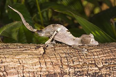 Fantastic leaf tailed gecko (Uroplatus phantasticus), Madagascar, Africa