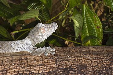 Leaf-tailed gecko (Uroplatus fimbriatus), Madagascar, Africa
