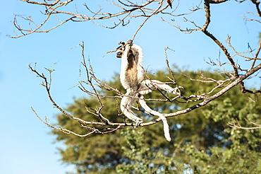 Verreaux's sifaka (Propithecus verreauxi) jumping, Berenty Nature Reserve, Fort Dauphin, Toliara Province, Madagascar, Africa