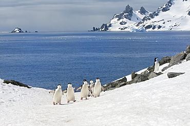 Chinstrap penguins (Pygoscelis Antarctica) walking up a glacial ice cap, Half Moon Island, South Shetland Island, Antarctic Peninsula, Antarctica, Polar Regions