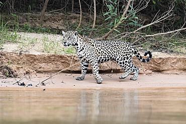 Jaguar (Panthera onca) on a riverbank, Cuiaba river, Pantanal, Mato Grosso, Brazil, South America