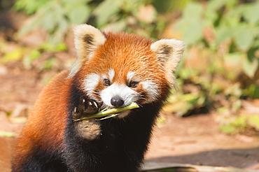 Red Panda (Ailurus fulgens), Sichuan Province, China, Asia